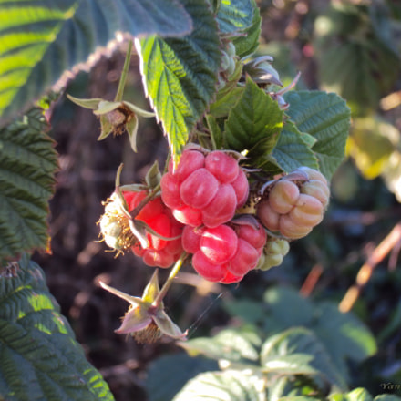 Autumn. Raspberries, Sony DSC-W190