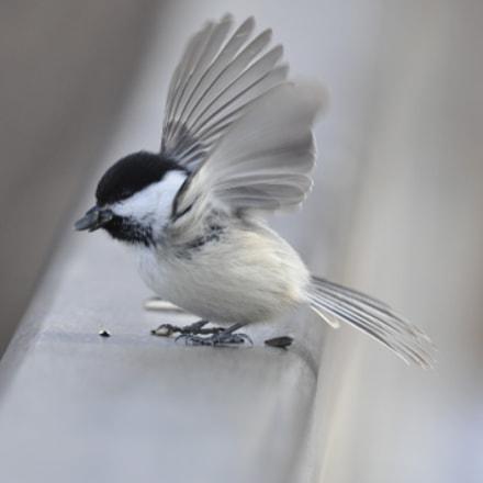 Chickadee, Nikon D90