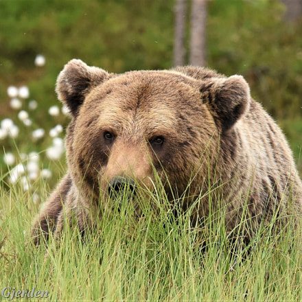 Brown bear, Nikon D810, AF-S VR Nikkor 500mm f/4G ED