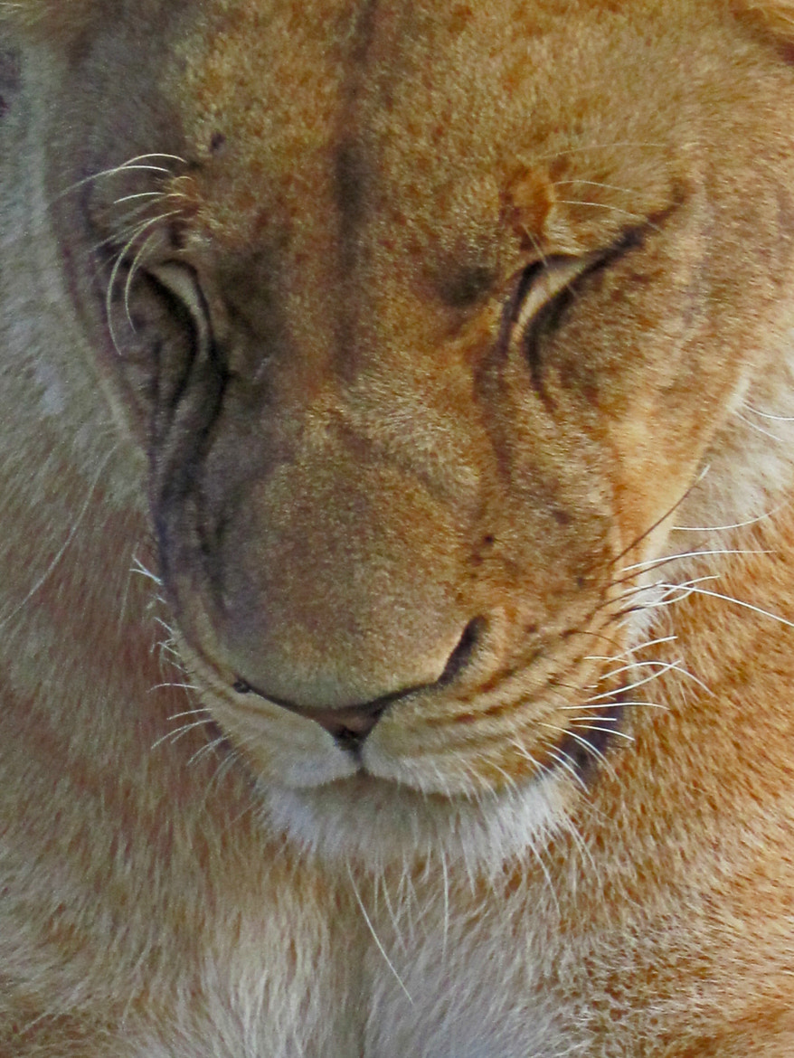 Photograph Lion in Mauritius by Emma Charlton on 500px