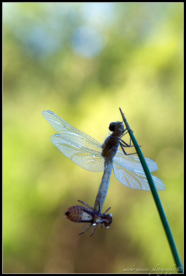 Photograph Libellula by mirko masieri on 500px