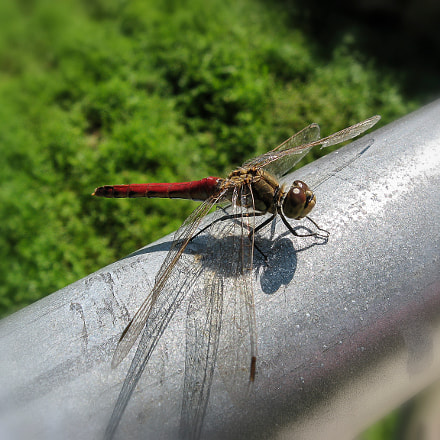 A dragonfly., Canon POWERSHOT A570 IS