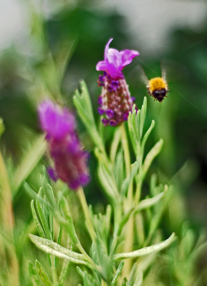 Photograph Buzzy bee by Emma Charlton on 500px