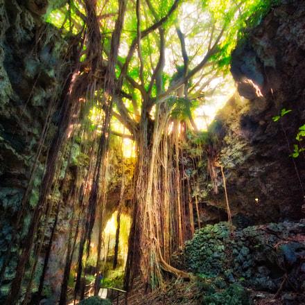 Old Banyon Tree