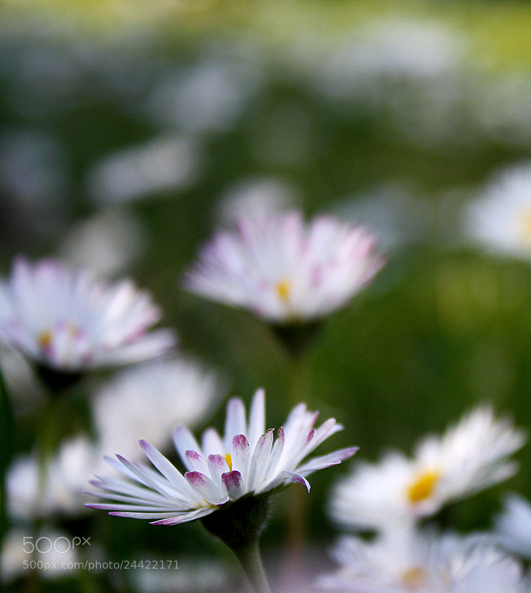 Photograph Bellis perennis by Rui Eusébio on 500px