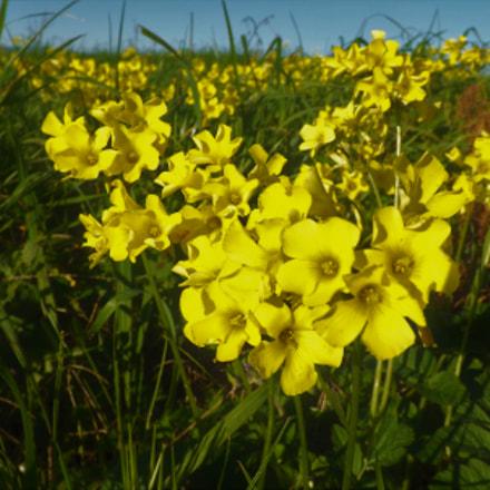 yellow, Fujifilm FinePix SL245