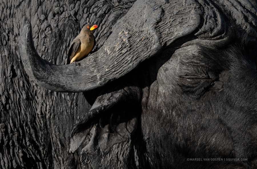 The Beauty And The Beast by Marsel van Oosten on 500px.com
