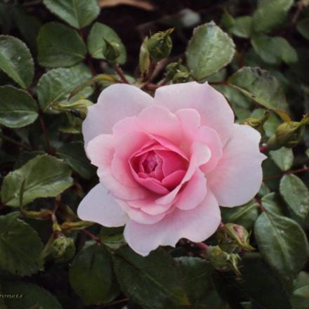 A Lonely Rose, Sony DSC-W190