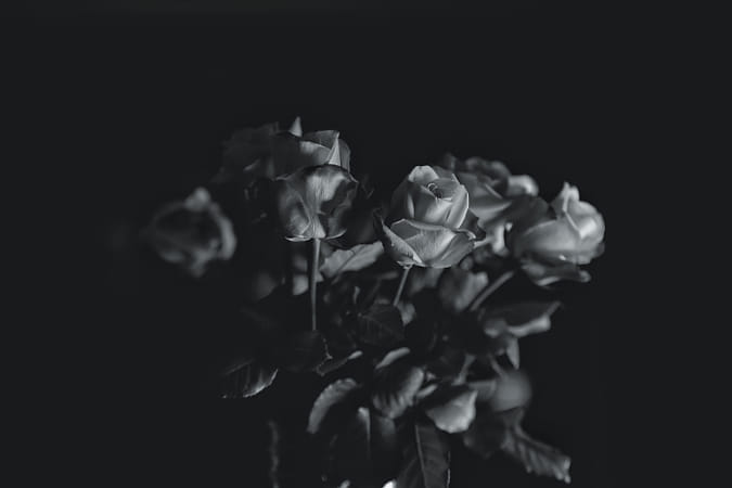 Roses in monochrome bathed with Rembrandt light.