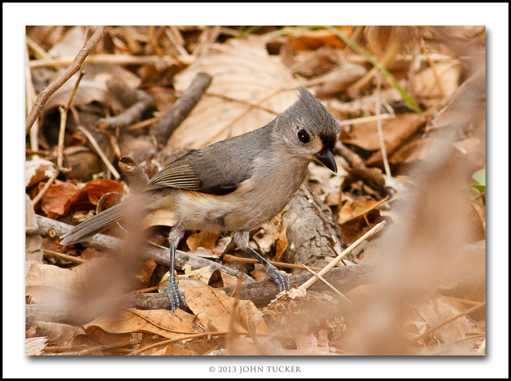 Photograph Tufted Titmouse by John Tucker on 500px