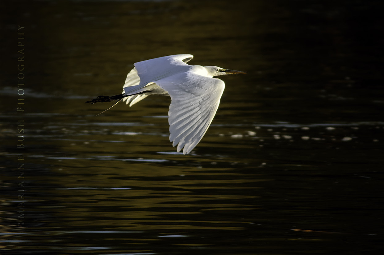 Photograph Great Egret in the Sunrise by Marianne Bush on 500px