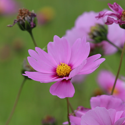 cosmos, Canon EOS KISS X7, Canon EF-S 55-250mm f/4-5.6 IS II