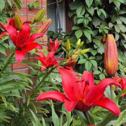 Red Lilies, Sony DSC-W190