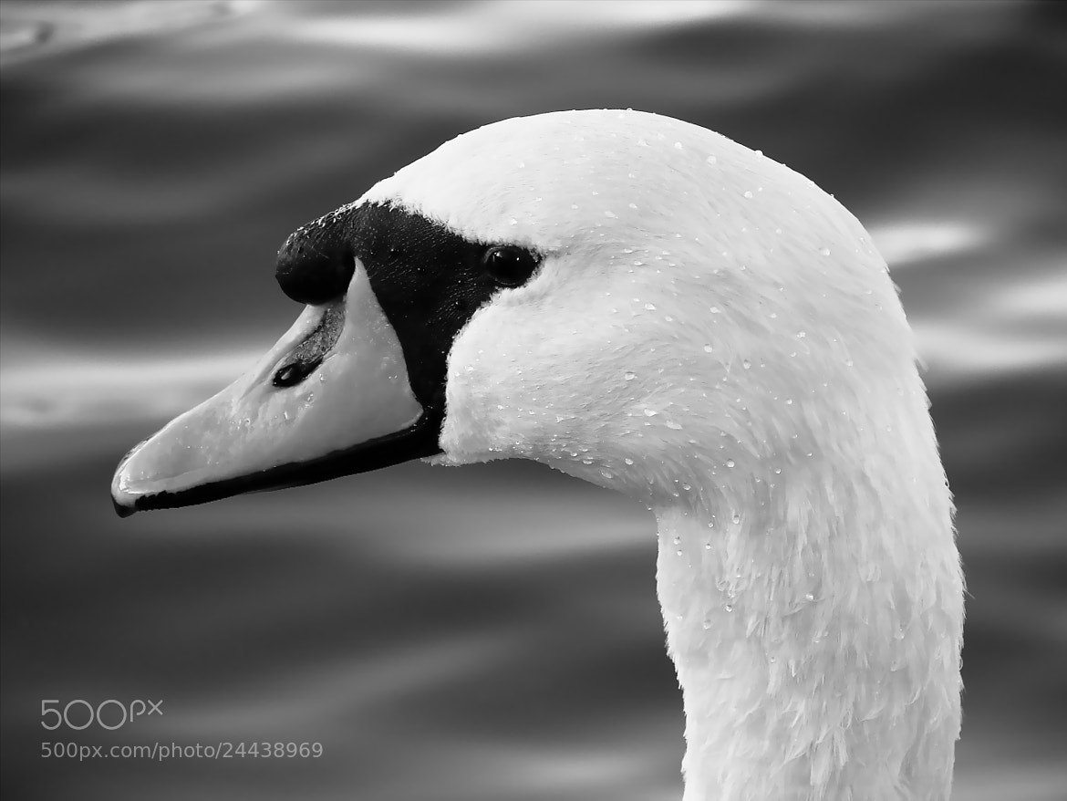 Photograph Swan by David Field on 500px