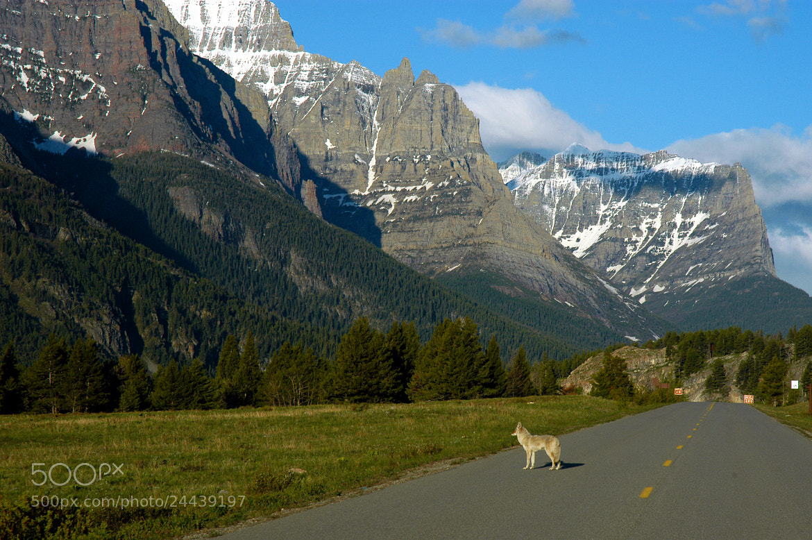 Photograph Wolf Stands Guard by Glenn  McGloughlin on 500px