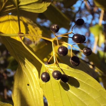 Black berries, Sony DSC-W190