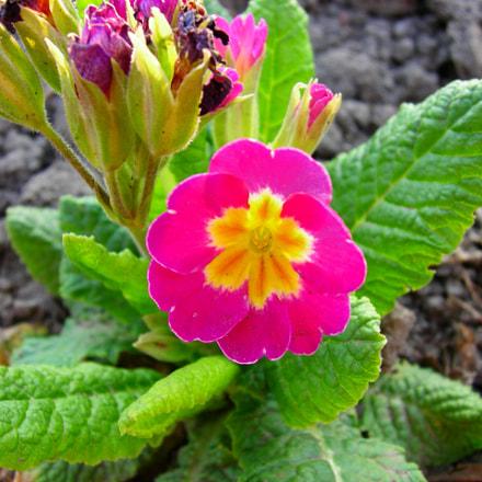 Bright Pink Flowers, Nikon COOLPIX P2