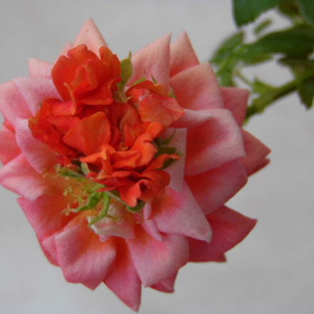 Alien rose, Panasonic DMC-LZ30