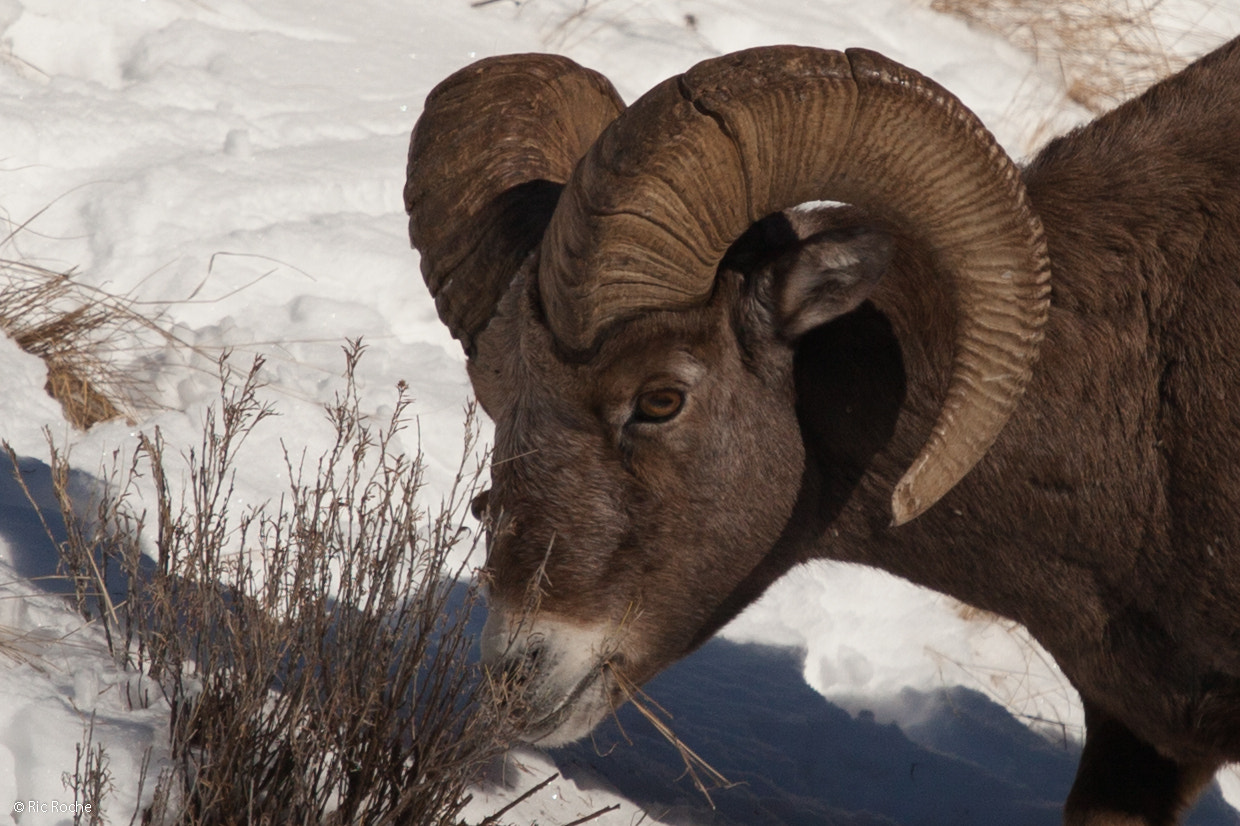 Photograph Big Horn Sheep by Ric Roche on 500px