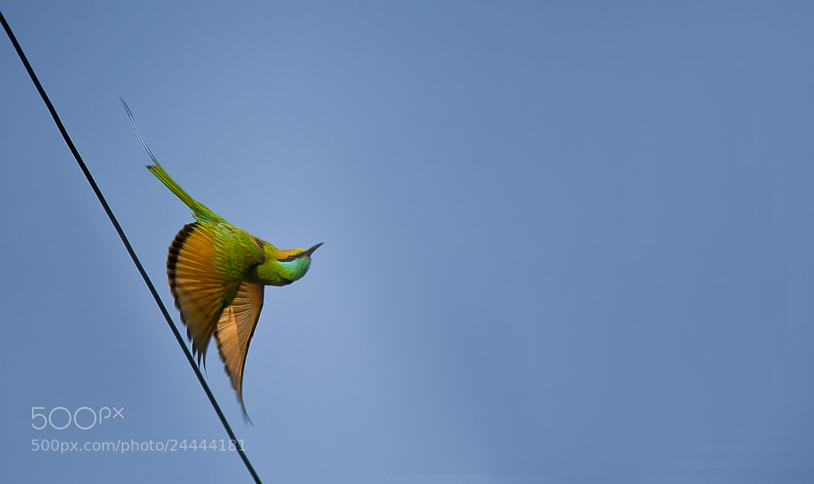Photograph Green Bee Eater, Take Off by Pradeep BR on 500px