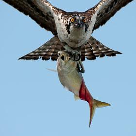 The Eyes of the Fish-Hawk - Osprey by Kristofer Rowe (coastalconn)) on  500px.com