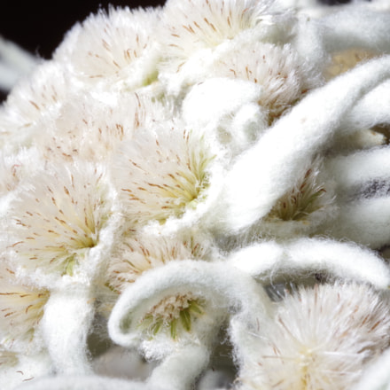 purity of white Leontopodium, RICOH PENTAX K-1, smc PENTAX-D FA Macro 100mm F2.8 WR