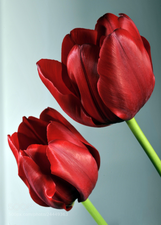 Photograph Red tulips by Cristobal Garciaferro Rubio on 500px