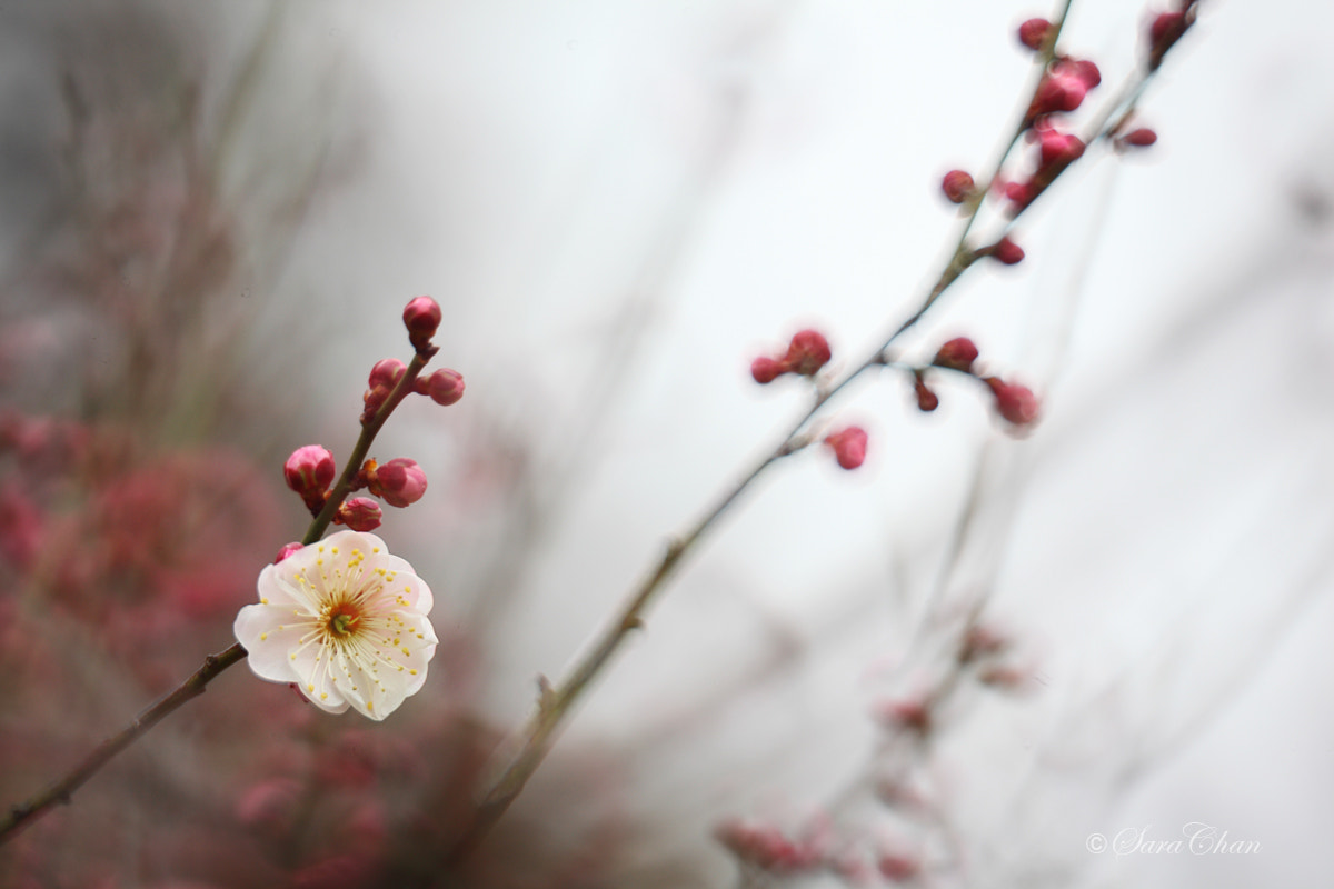 Photograph Plum Blossom 1 by Sara Chan on 500px