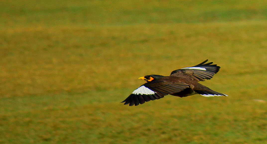 Photograph Indian Myna by Anirban Chakraborty on 500px