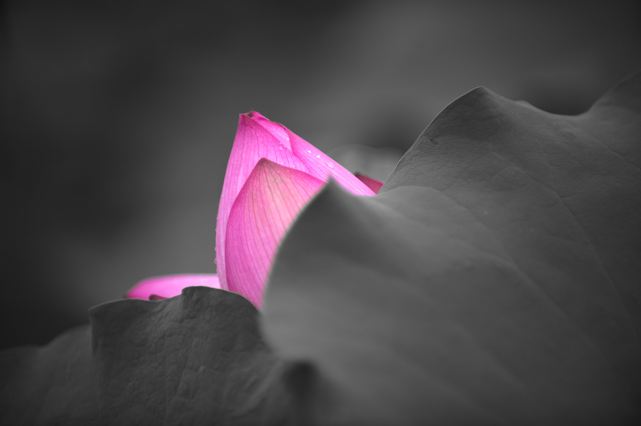 Photograph Glowing lotus bulb ... by Mark Simons on 500px