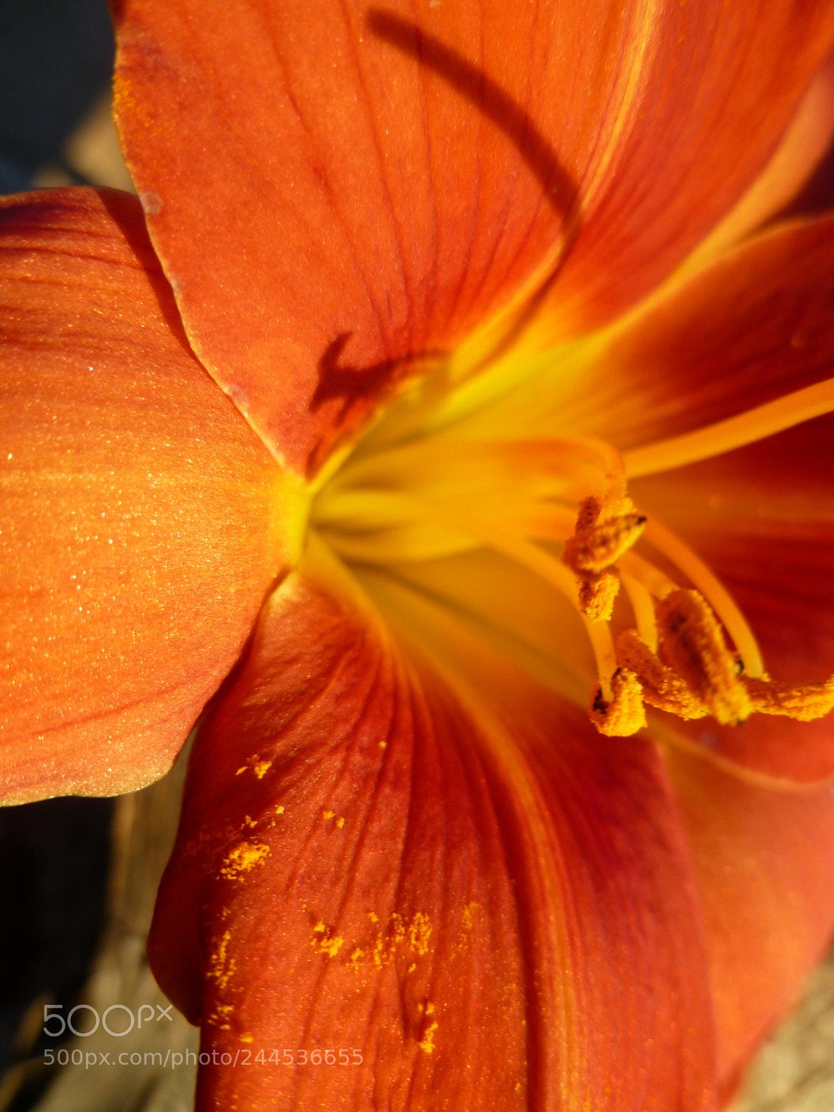 "Panasonic DMC-FH20 sample photo. ""Lily pollen"" photography"