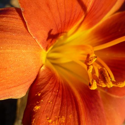 Lily pollen, Panasonic DMC-FH20
