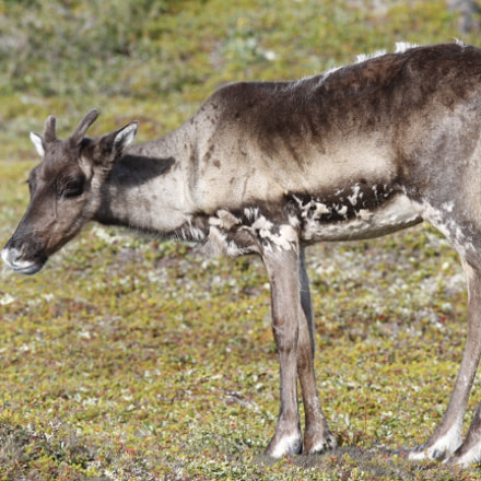 Young barren-ground caribou standing, Canon EOS 7D, Canon EF 300mm f/2.8L IS