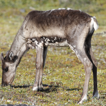 Young barren-ground caribou grazing, Canon EOS 7D, Canon EF 300mm f/2.8L IS