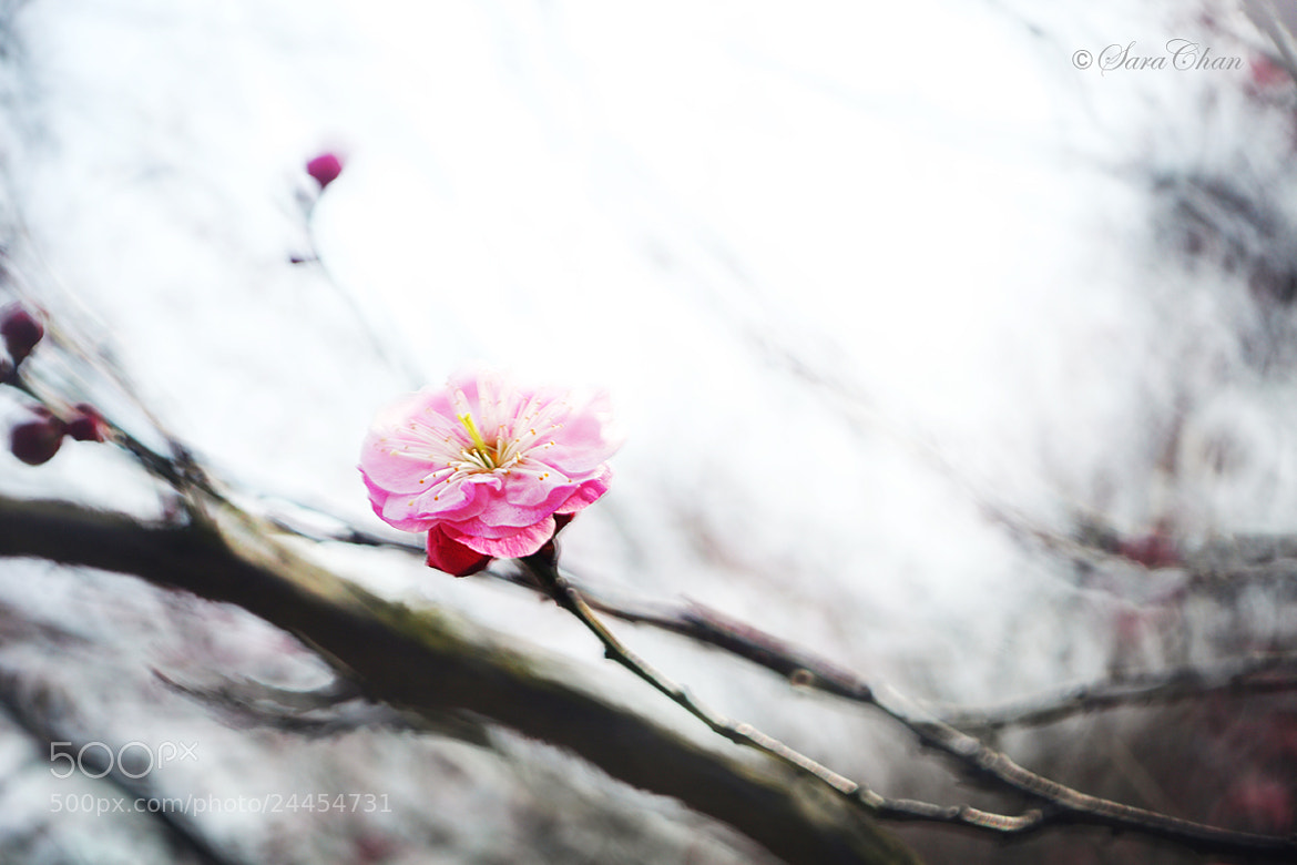 Photograph Plum Blossom 2 by Sara Chan on 500px