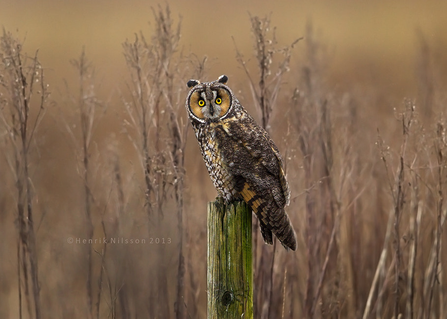 Photograph An Owl with Long Ears by Henrik Nilsson on 500px