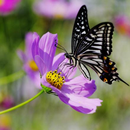 Butterfly, Pentax K-5, smc PENTAX-D FA Macro 100mm F2.8 WR