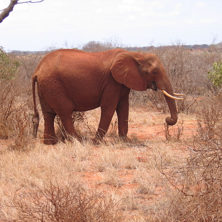 Elephant, Canon DIGITAL IXUS 500