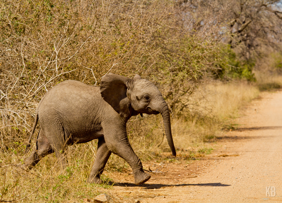 Photograph Elephant Crossing by Kevin Bedard on 500px