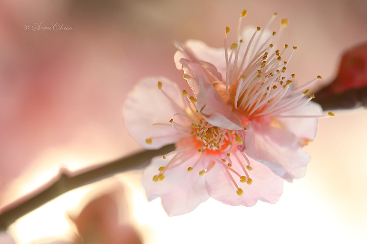 Photograph Plum Blossom 3 by Sara Chan on 500px
