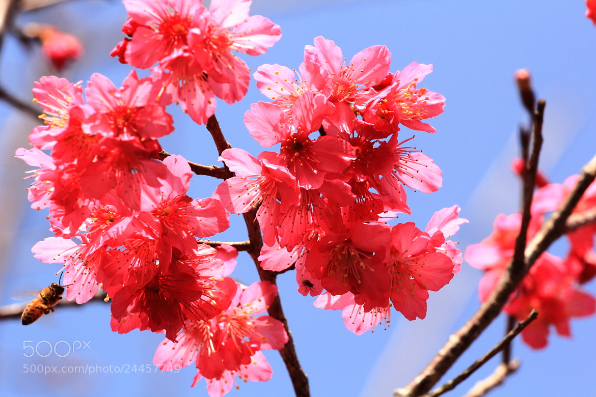 Photograph Cherry Blossoming by Mike Hsu on 500px