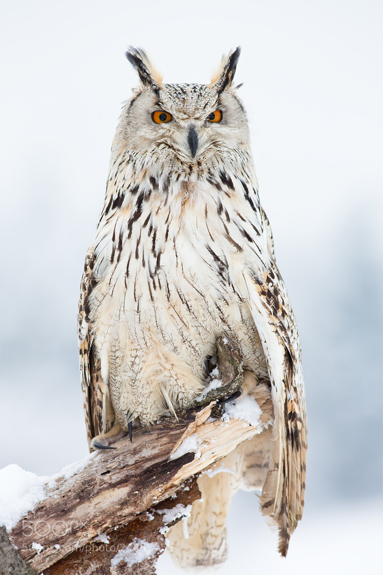 Photograph Bubo Bubo Sibiricus  by Milan Zygmunt on 500px