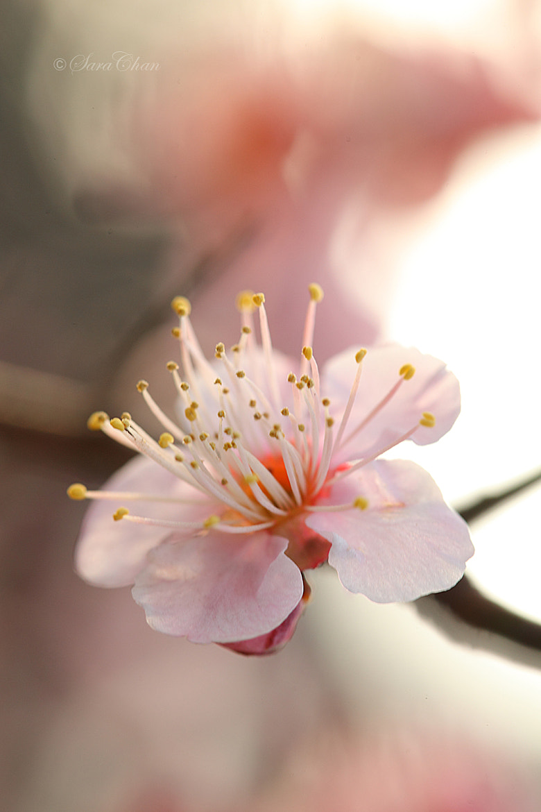 Photograph Plum Blossom 4 by Sara Chan on 500px