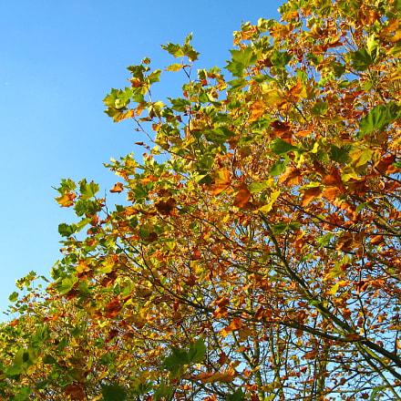 Autumn leaves changing colour, Canon POWERSHOT A550