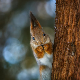squirrel by Dmitry Laudin (fly10)) on 500px.com