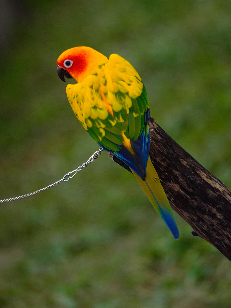 Photograph Walk a parrot by William Lo on 500px