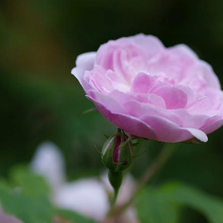 pink rose, RICOH PENTAX K-1, smc PENTAX-D FA Macro 100mm F2.8 WR