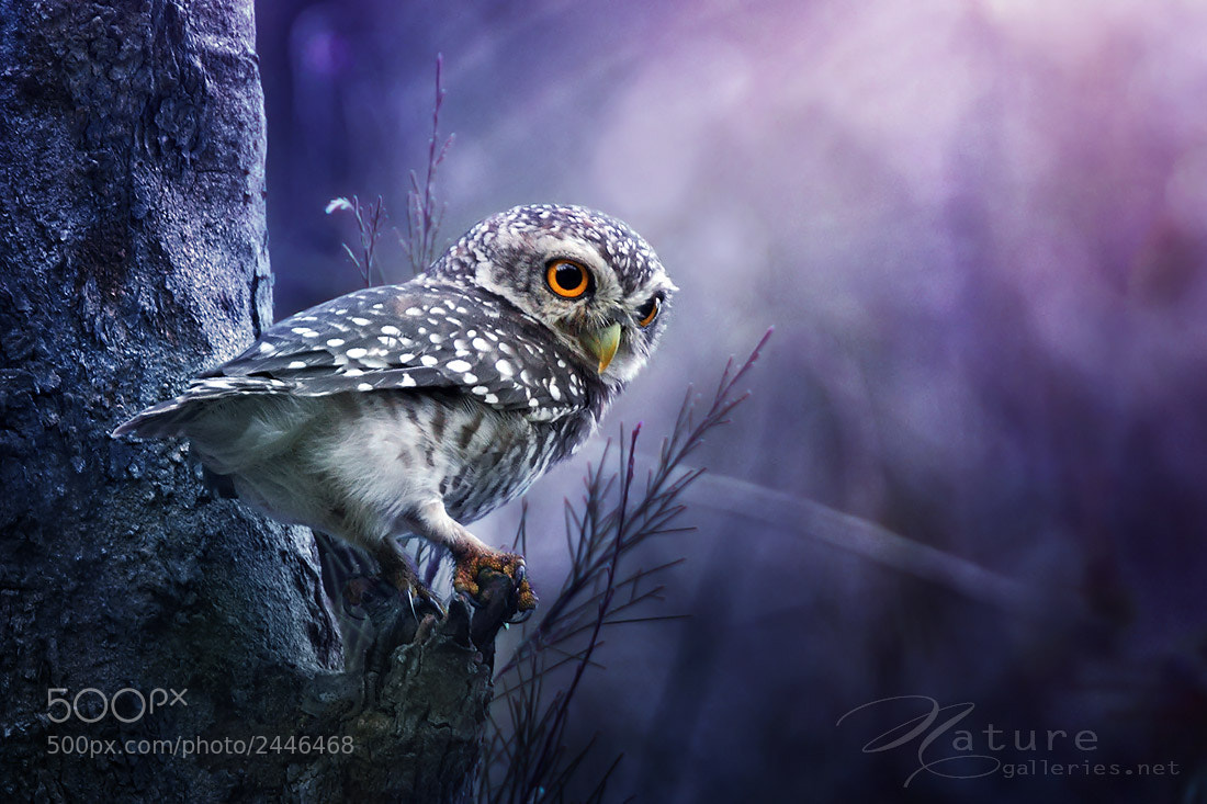Photograph Spotted Owlet by Sasi - smit on 500px