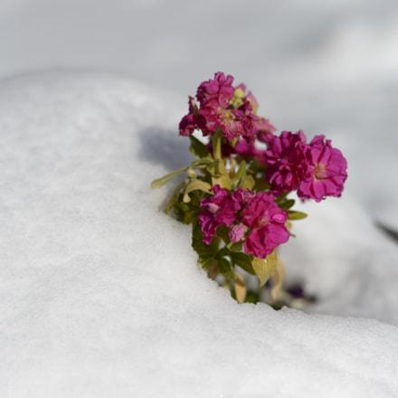 Sprout under Snow, Nikon D4, AF-S Nikkor 58mm f/1.4G