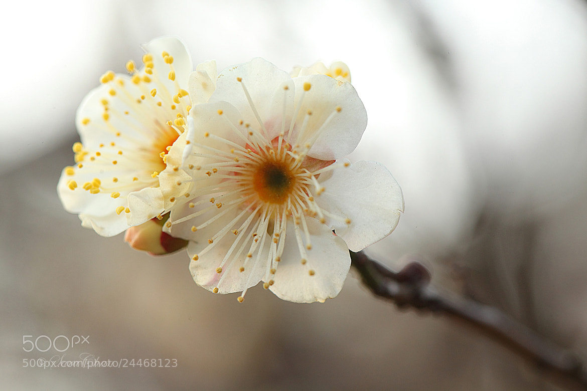 Photograph Plum Blossom 6 by Sara Chan on 500px